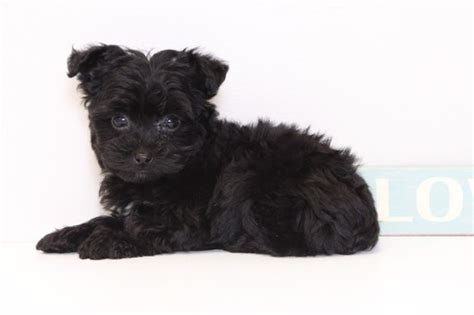yorkie puppies for sale naples fl view ad yorkie poo puppy for sale florida naples usa