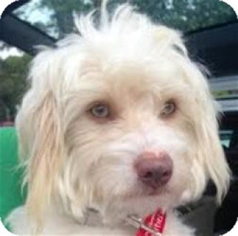 havanese and maltese mix noodles adopted los angeles ca havanese maltese mix
