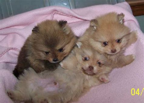 small pomeranian for sale pomeranians for sale ads free classifieds