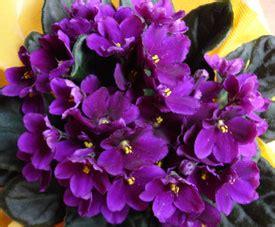 mundo maravilloso la flor el maravilloso mundo de las violetas diferentes variedades flores jardin flor de planta