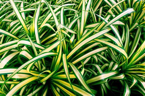 spider plant 15 houseplants for improving indoor air quality 15