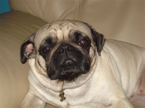 image pug pugs photo 4149708 fanpop