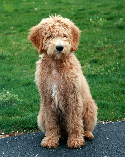 goldendoodle puppy haircuts my goldendoodle carlos my goldendoodle carlos