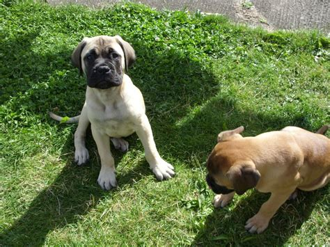 fawn puppy bullmastiff fawn pup for sale ready now ferryhill county durham pets4homes