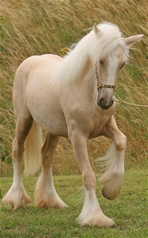 Palomino Adara by Palomino Vanner Horses Ponies Donkeys