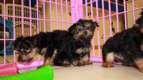 yorkie poos for sale in ga yorkie poo puppies for sale in atlanta ga at puppies for sale local