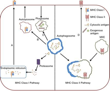 pattern recognition receptors and autophagy autophagy and antigen presenting pathways the role of