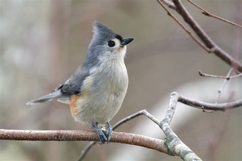 tufted titmouse so much fun to watch hey you with the