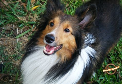 free sheltie puppies free sheltie wallpaper