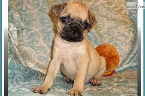 bugg puppy and behavior breeds picture