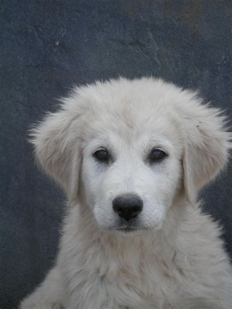 maremma golden retriever mix best 25 akbash ideas on creme golden retriever maremma and pics of