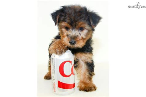 yorkie puppies for 200 or less terrier yorkie puppy for sale near columbus ohio ad5102c2 f991