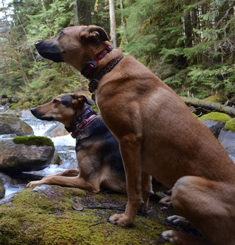 puppy classes seattle seattle shepherd mixes are hiking fools