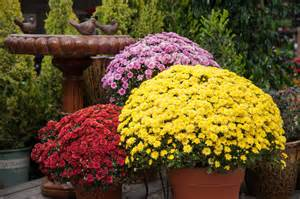 Nothing says fall like mums we offer many sizes and colors grown
