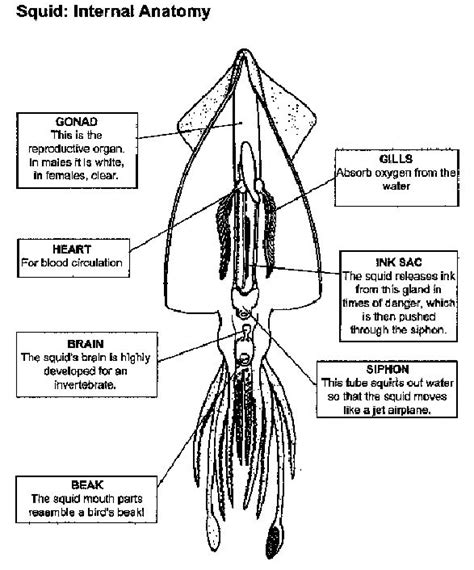 squid dissection lab worksheet squid anatomy labelled manandmollusc net anatomy guides labs lesson