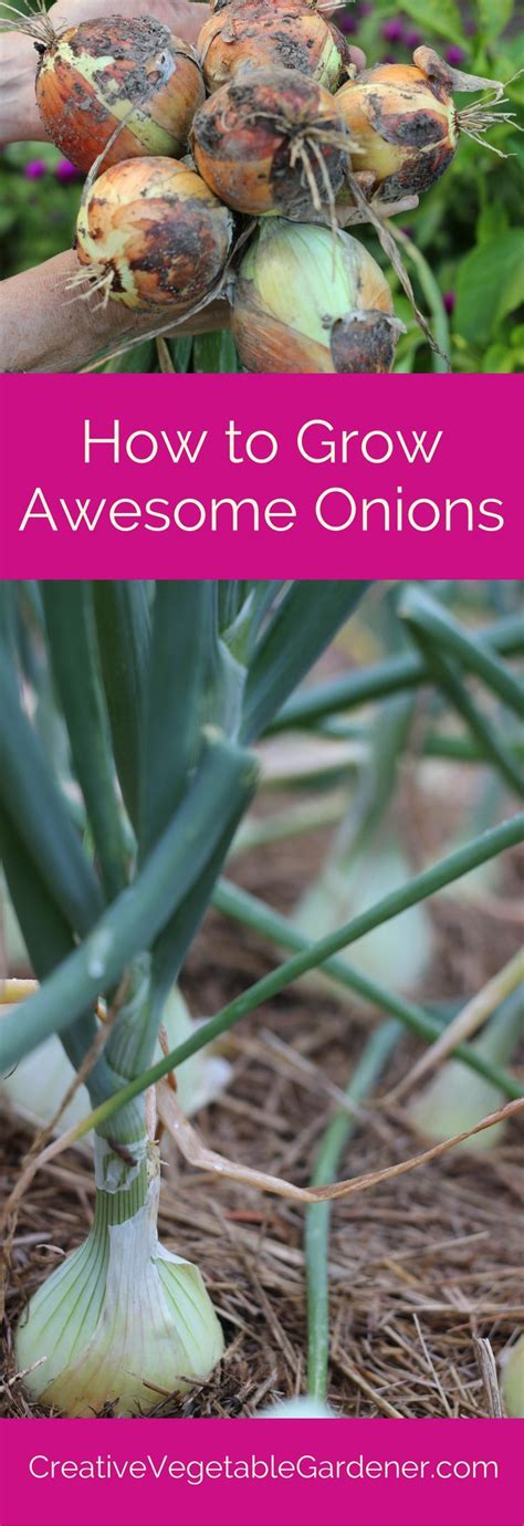 plant  grow onions   vegetable garden