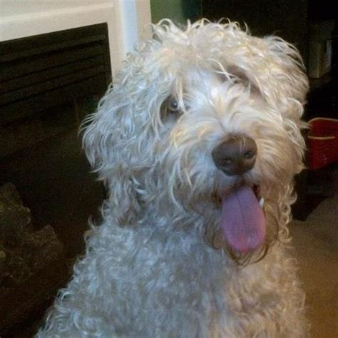 Do Australian Labradoodles Shed storms this australian labradoodle has the wheaten