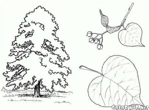 birch leaf coloring page birch tree leaf template sketch coloring page