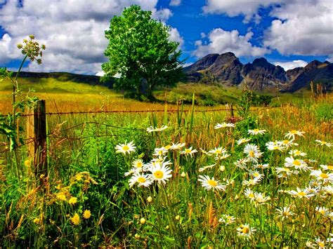 Landscape Pictures Of Flowers Landscape Chamomile Flowers And Green Grass