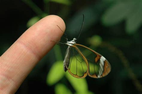 imagenes mariposas de cristal especies raras de mariposas con voces de mujer