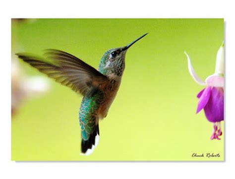 migration pattern of humming bird 2000 free patterns