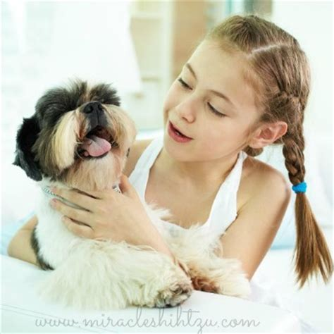 shih tzu with children the shih tzu temperament personality