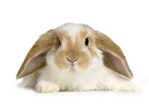 pet varieties different breeds of pet rabbits trend home design and decor