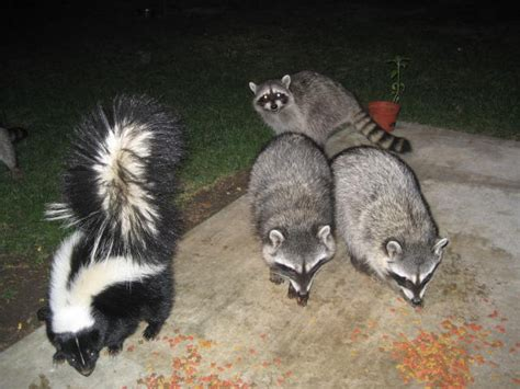 how to catch a raccoon in my backyard faqs