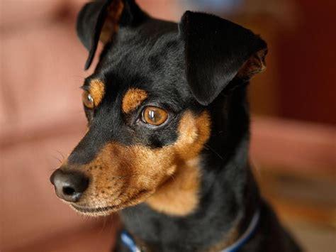 alimentazione pinscher nano pinscher razza descrizione carattere cuccioli