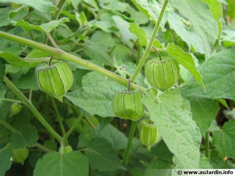 Physalis En Pot by Coqueret Du P 233 Rou Planter Cultiver R 233 Colter
