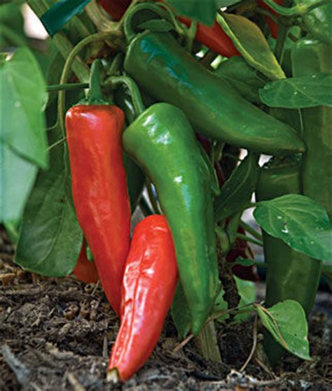 hot anaheim chili pepper seeds and plants, vegetable