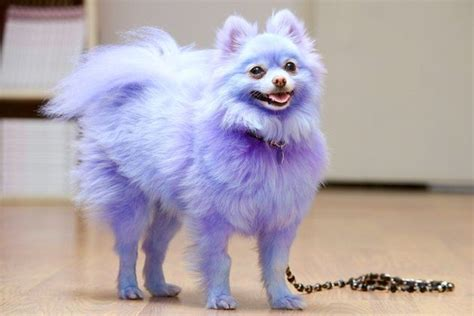 purple pomeranian owner dyes beloved pet purple and blue because he s only happy when he has