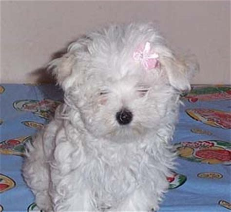 maltese puppies for sale in new orleans maltese photos pictures malteses page 5