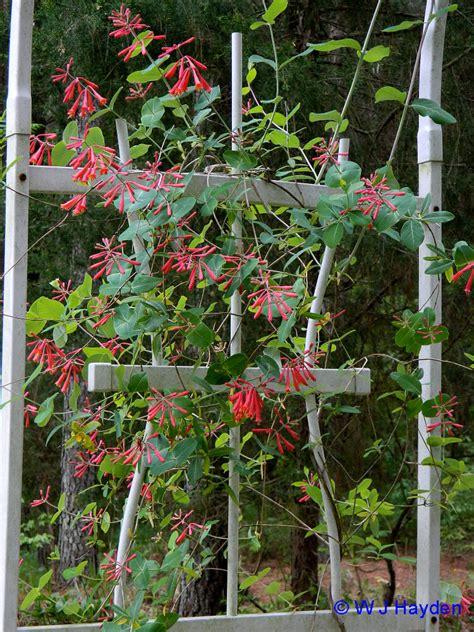 wildflower   year  coral honeysuckle lonicera