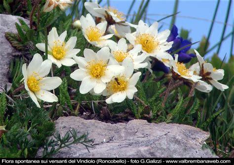 fiori di montagna nomi fiori montagna gpsreviewspot