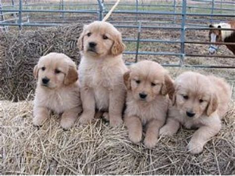 golden retriever puppies adoption mn golden retriever puppies in minnesota
