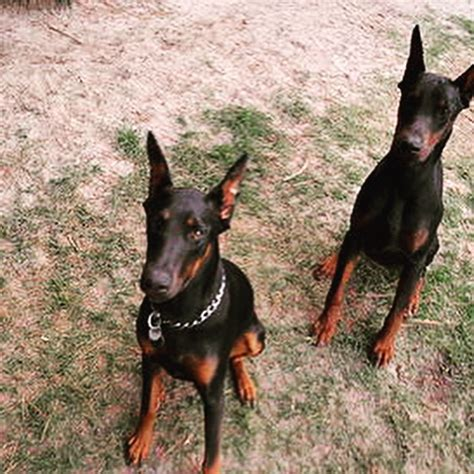 doberman puppies nc dobie guardians doberman pinscher breeder in seven springs carolina