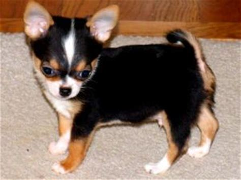 chihuahua puppies for sale in indiana indiana for sale puppies for sale
