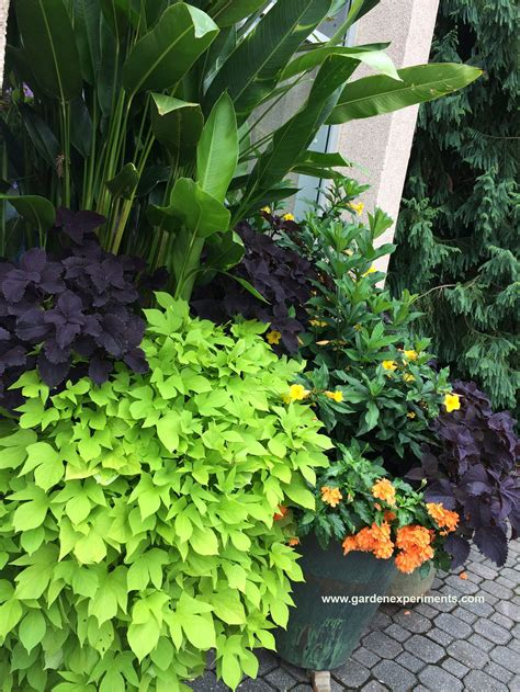 great color combinations  sweet potato vine