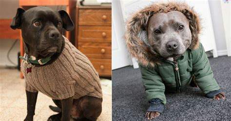Sweater Pit Bull Imbong apparently these 23 pit bulls are ready for sweater weather all created