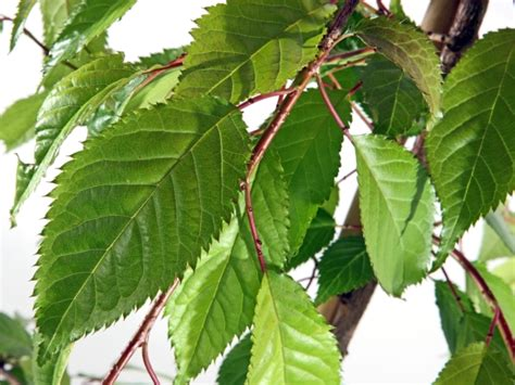 cherry tree leaves cheal s weeping flowering cherry trees for sale view now