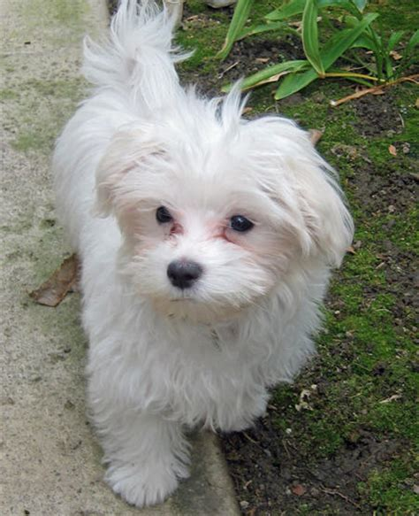maltese puppy names s maltese pup by name christa