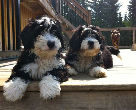 puppy imprinting our puppy imprinting program is a service in home positive reinforcement based