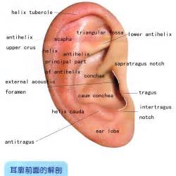 anatomy of outer ear human anatomy