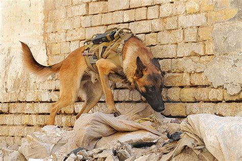 combat dogs the dogs of war a tribute to the mwd working dogs the ark in space