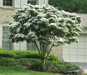 japanese white flowering dogwood cornus kousa the
