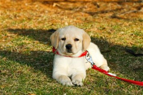 my puppy won t outside help my puppy won t walk on leash thedogtrainingsecret