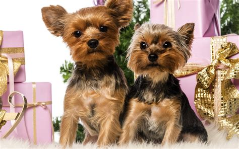 mini yorkie rescue miniature terrier rescue uk dogs our friends photo