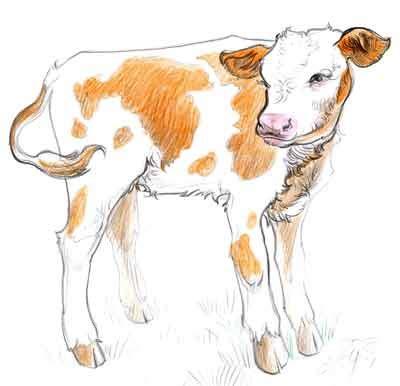 calf drawing   jana doubkova   flickr