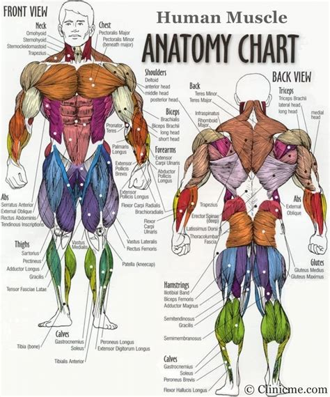 muscles diagram diagram of the human muscles human anatomy diagram